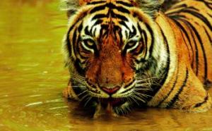 Indien Safari
